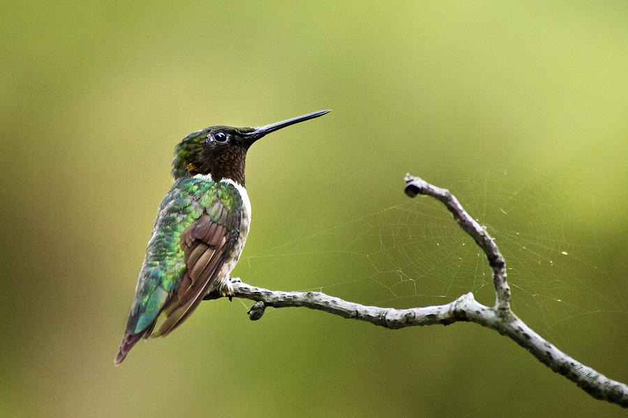 New York Hummingbird Photograph