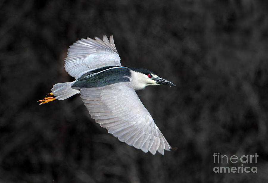 Night heron in flight - photo#19