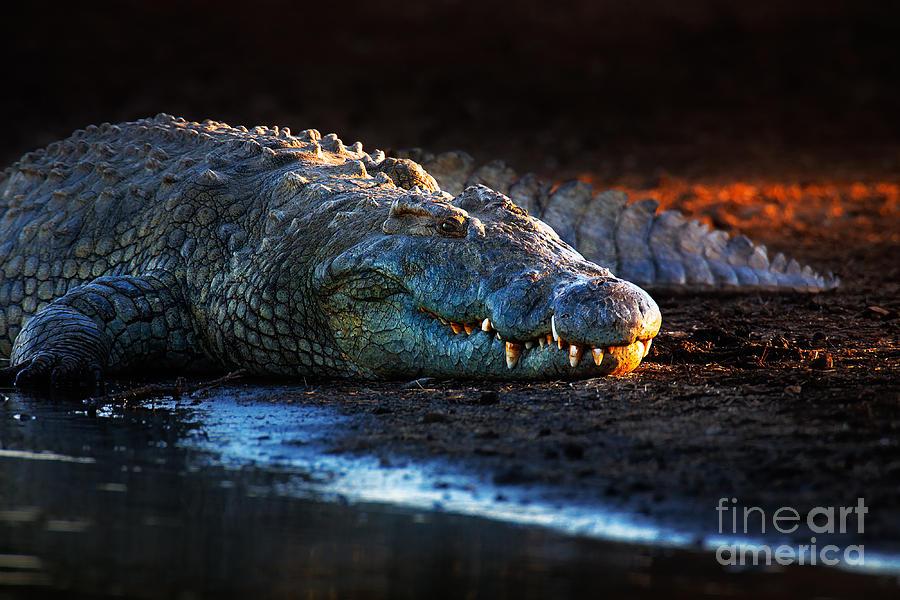 Nile Crocodile On Riverbank-1 Photograph