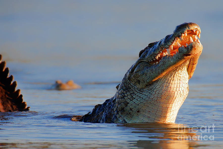 Nile Crocodile Raising Out Of Water Photograph