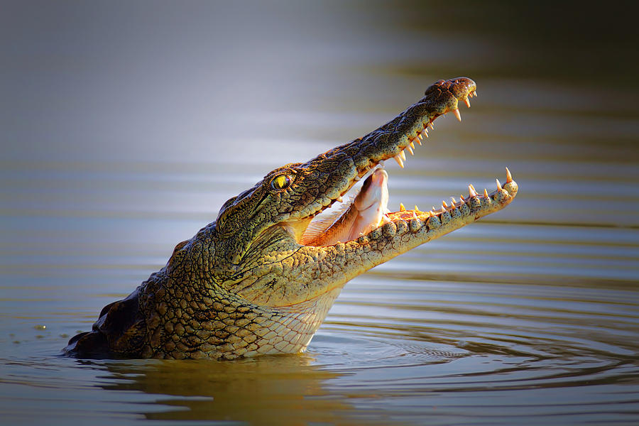 Nile Crocodile Swollowing Fish Photograph
