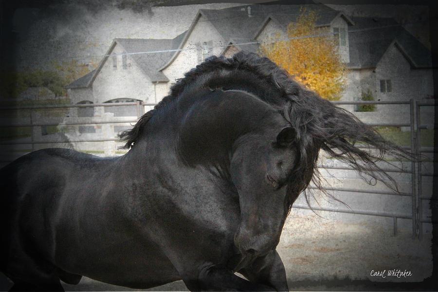 Friesian Stallion Canvas Print Photograph - Nobility by Royal Grove Fine Art