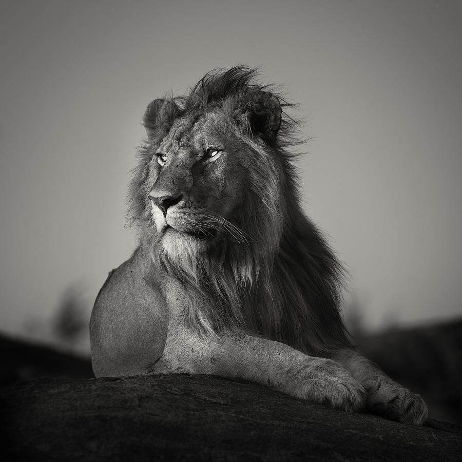 The Gallery For Black And White Lion Painting