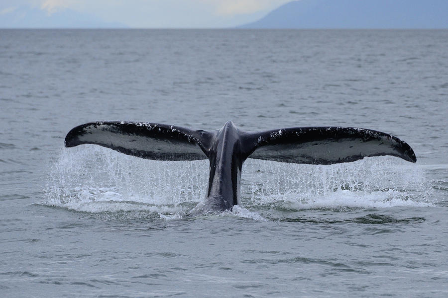 Noncarnival Whale Tail Photograph