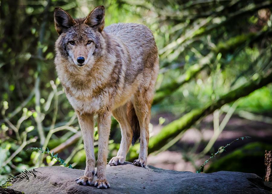 Eastern coyote vs western coyote