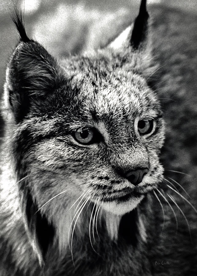 North American Lynx In The Wild. Photograph