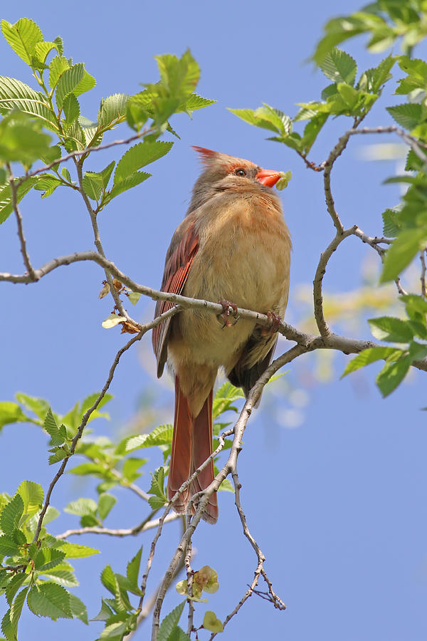 Northern Cardinal - Female Photograph  - Northern Cardinal - Female Fine Art Print