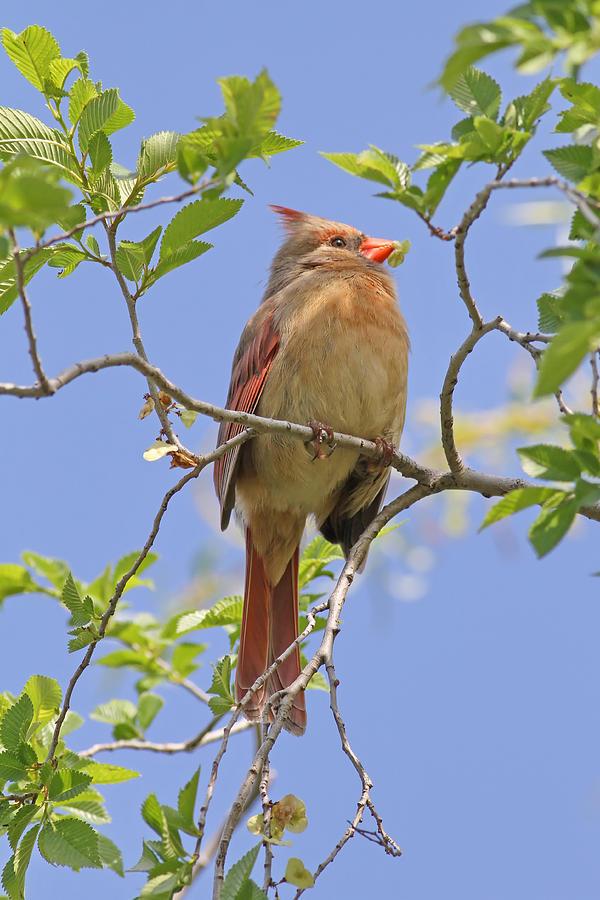 Northern Cardinal - Female Photograph