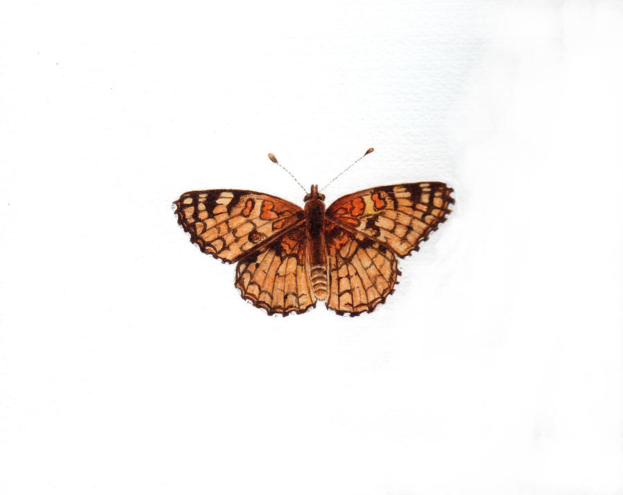 Northern Checkerspot Butterfly Painting  - Northern Checkerspot Butterfly Fine Art Print