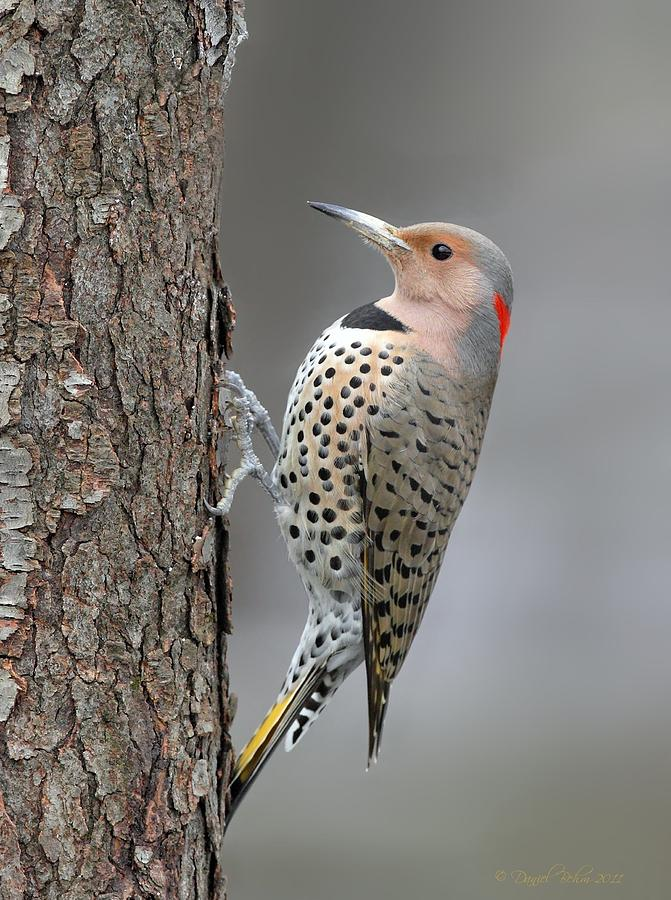 Northern Flicker Photograph - Northern Flicker by Daniel Behm
