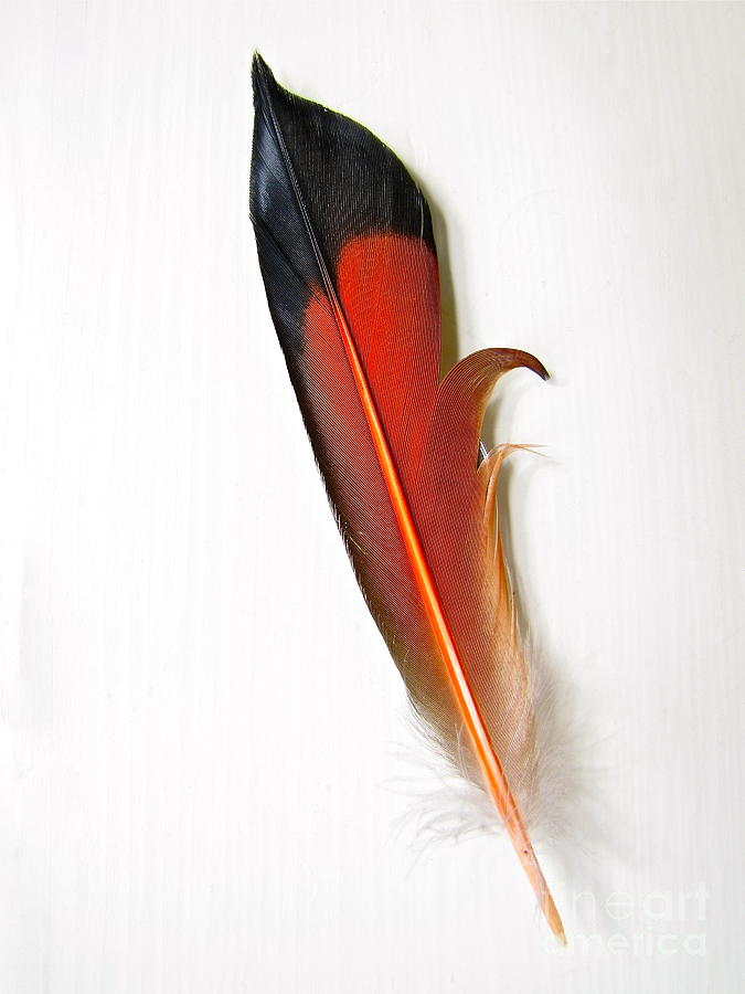 Northern Flicker Tail Feather Photograph