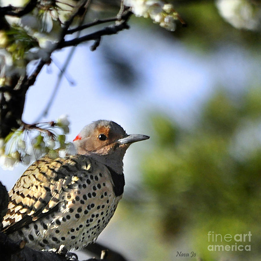 Northern Flicker Woodpecker Photograph  - Northern Flicker Woodpecker Fine Art Print