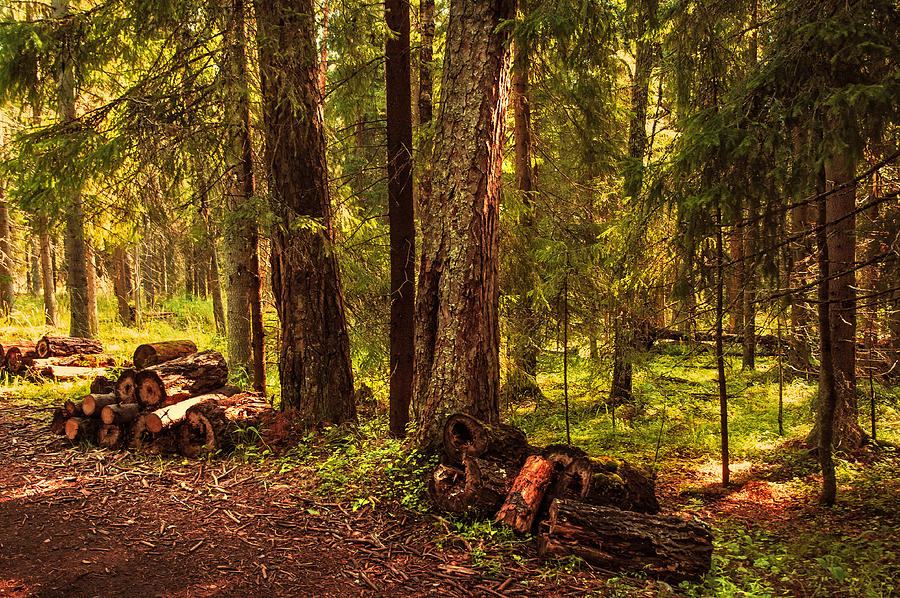 Northern Forest Photograph