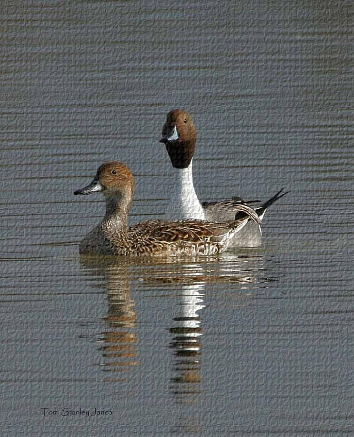 Northern Pintail Pair Photograph - Northern Pintail Pair  by Tom Janca