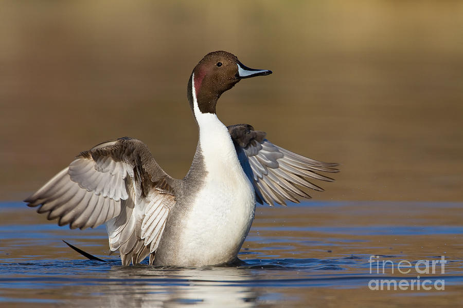 Northern Pintail Photograph - Northern Pintail Wing Flap by Bryan Keil