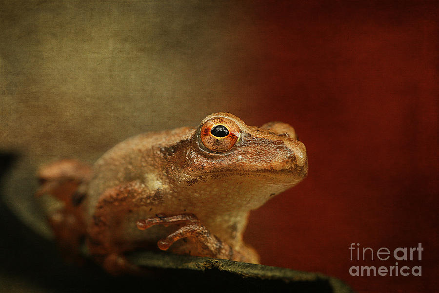 Northern Spring Peeper Photograph