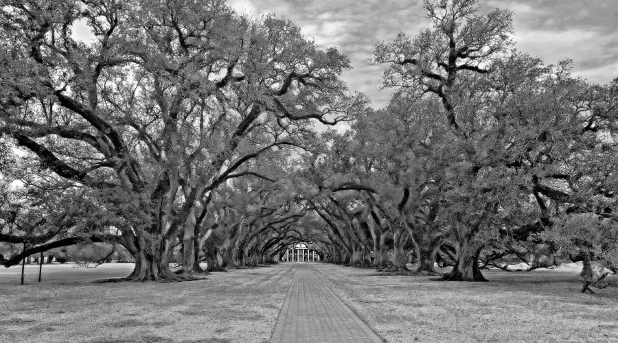 Oak Alley 3 Monochrome Photograph