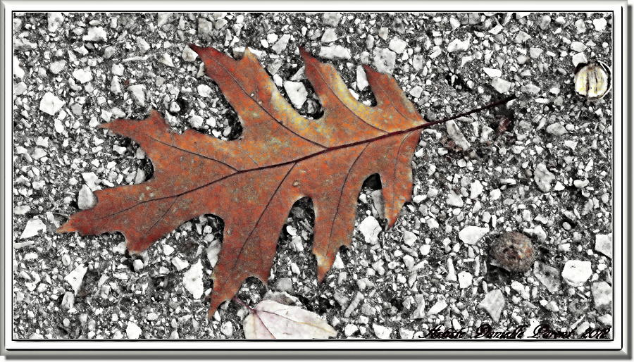 Oak Leaf On Asphalt  Photograph