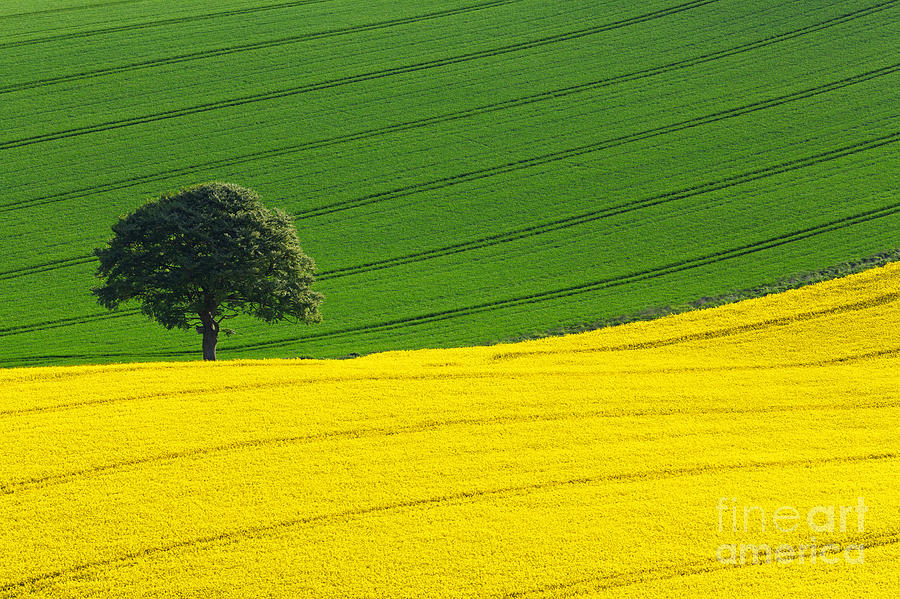 Rape Seed Photograph - Oak Tree Split by Richard Thomas