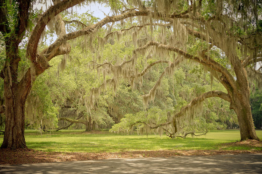 Oak Trees Draped With Spanish Moss Photograph