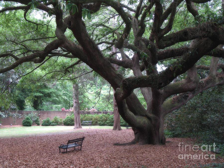 Oak Trees Hopeland Gardens Aiken South Carolina