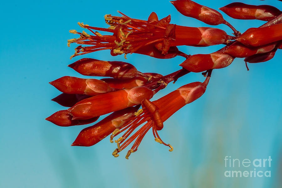 Ocotillo Flowers Photograph
