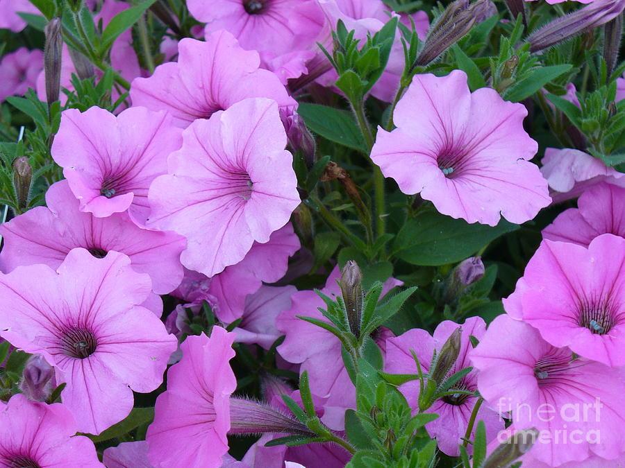 Purple Petunia Photograph - Ode To Joy by Lingfai Leung