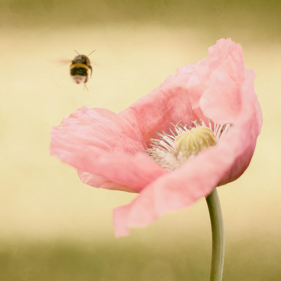 Oh To Catch A Bumblebee Photograph  - Oh To Catch A Bumblebee Fine Art Print