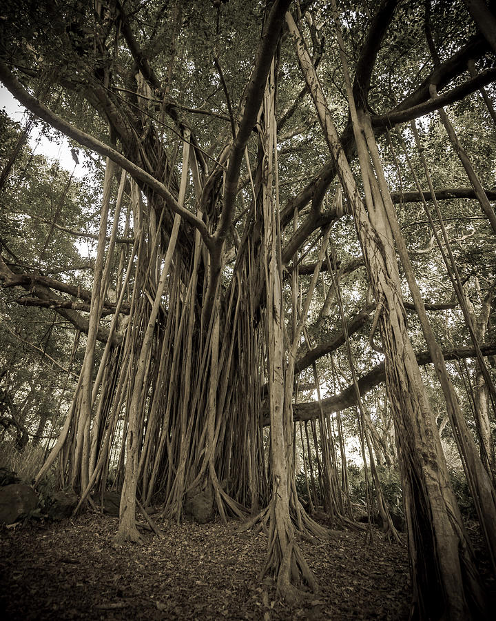Old Banyan Tree Photograph