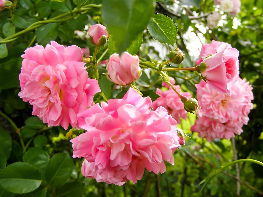 Old Fashioned Climbing Roses Photograph By Cynthia Woods
