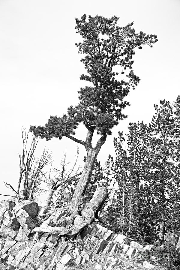 Old Gnarly Tree Photograph  - Old Gnarly Tree Fine Art Print
