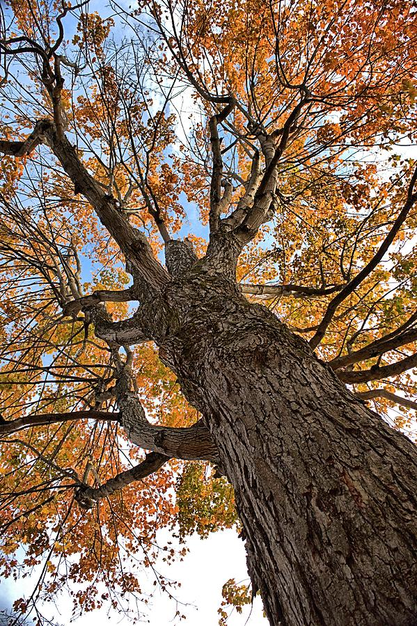 Old hickory tree photograph