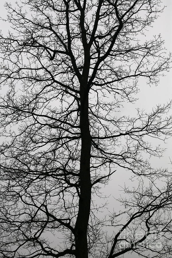 Old Oak In The Grey Sky.  Photograph  - Old Oak In The Grey Sky.  Fine Art Print