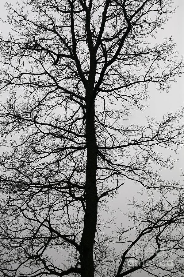 Old Oak Photograph - Old Oak In The Grey Sky.  by Tanya Polevaya