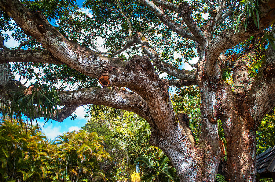 Old Tree In Eureka. Mauritius Photograph