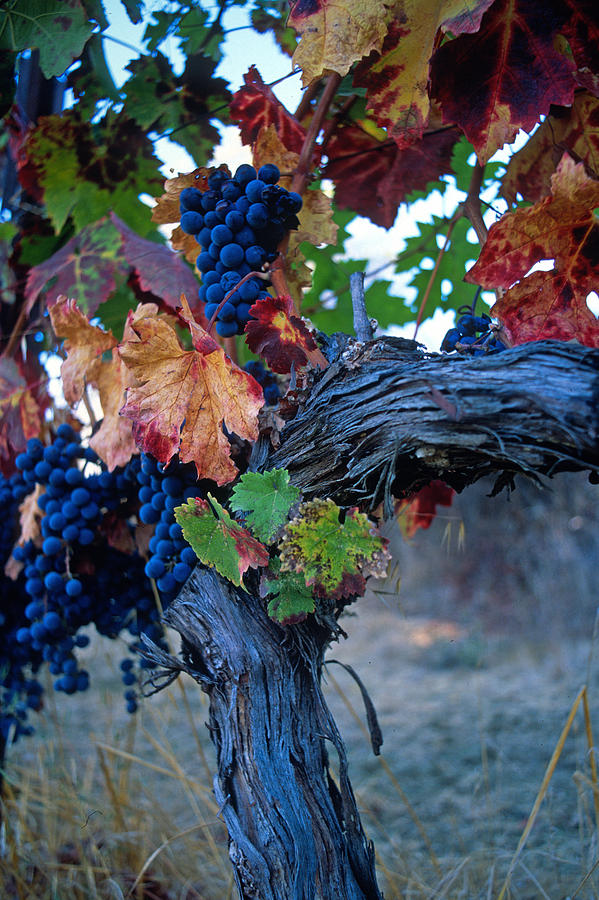 Wine Photograph - Old Vine by Kathy Yates