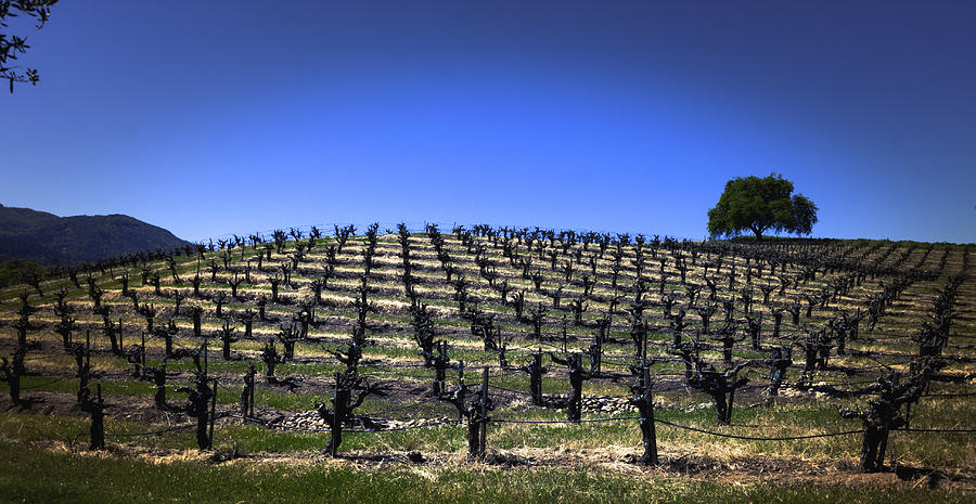 Old Vines Panorama Photograph