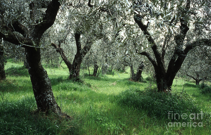 Olive Grove Photograph  - Olive Grove Fine Art Print