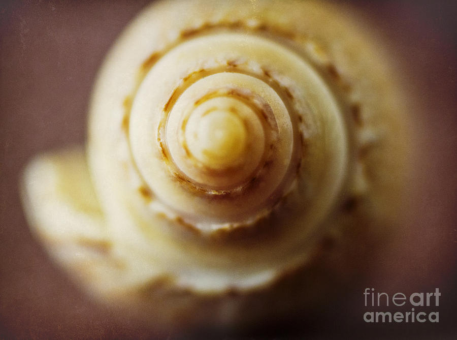 Olive Shell Photograph - Olive Shell by Elena Nosyreva