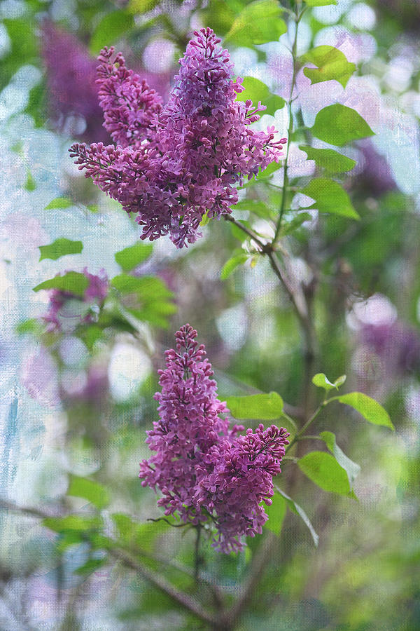 Lilacs Photograph - On The Bush by Rebecca Cozart