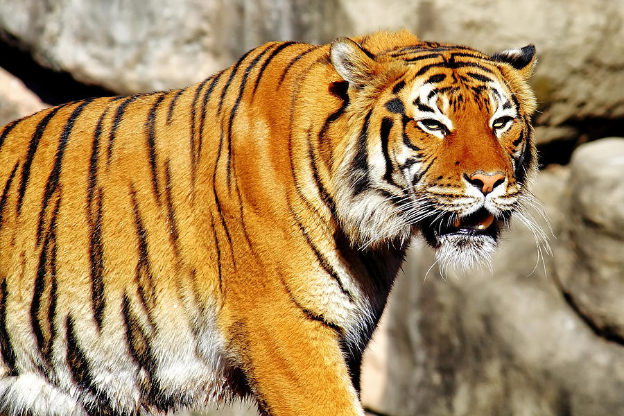 Tiger Photograph - On The Prowl by Jason Politte