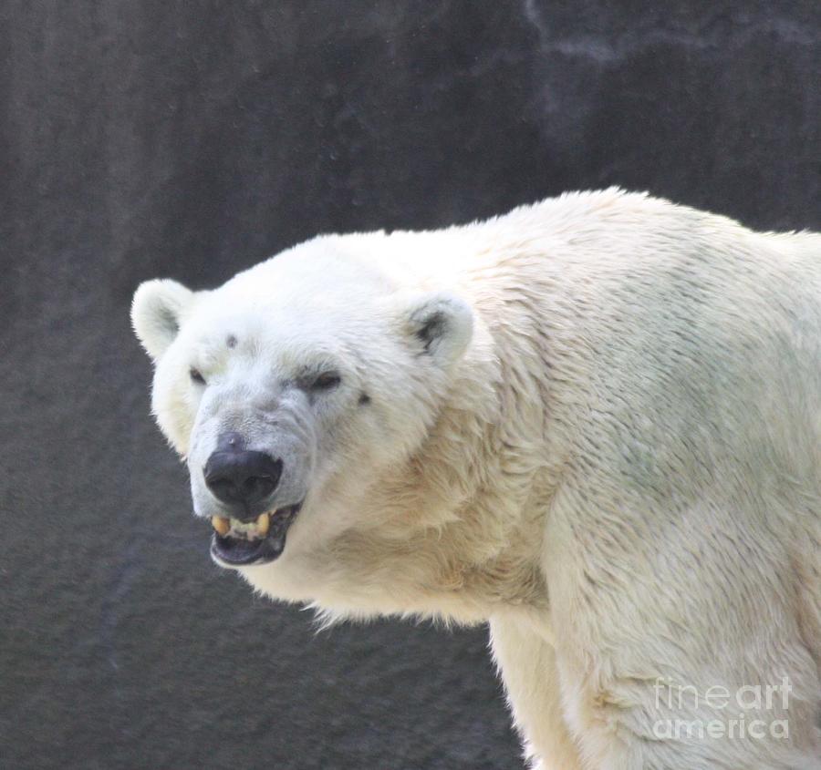 One Angry Polar Bear Photograph by John Telfer