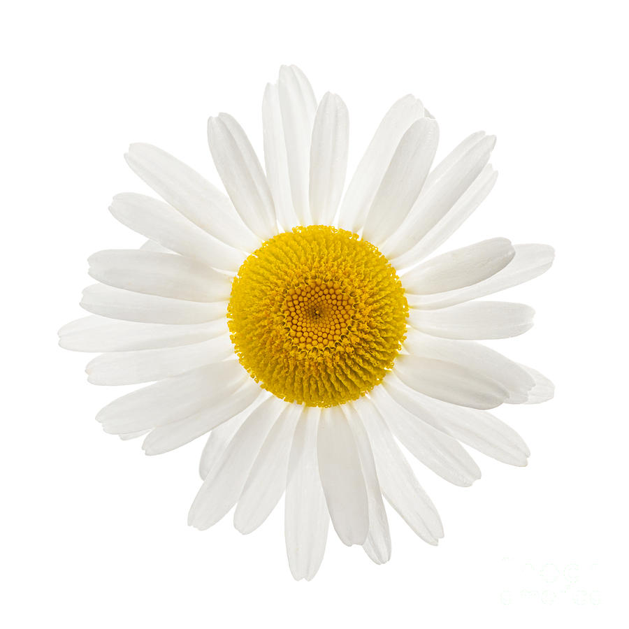 One Daisy Flower Photograph By Elena Elisseeva
