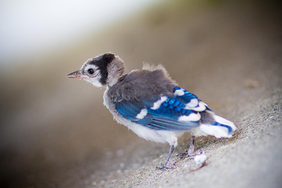 Bluejay Photograph - one day...I will fly by Shane Holsclaw