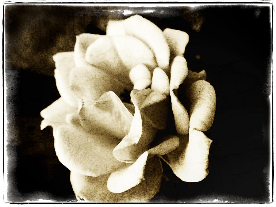 Rose Photograph - One Fragile Rose by Tanya Jacobson-Smith