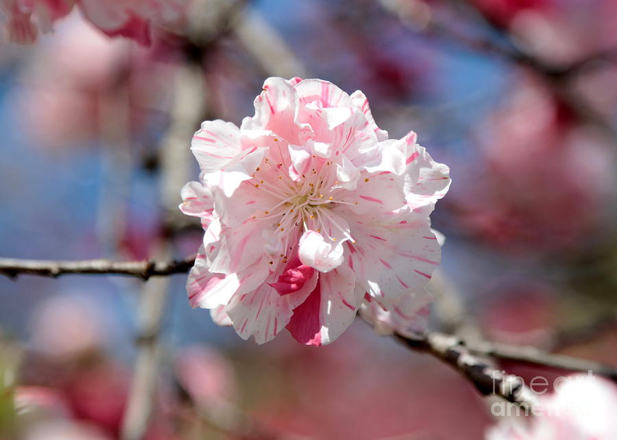 Spring Photograph - One Pink Blossom by Carol Groenen