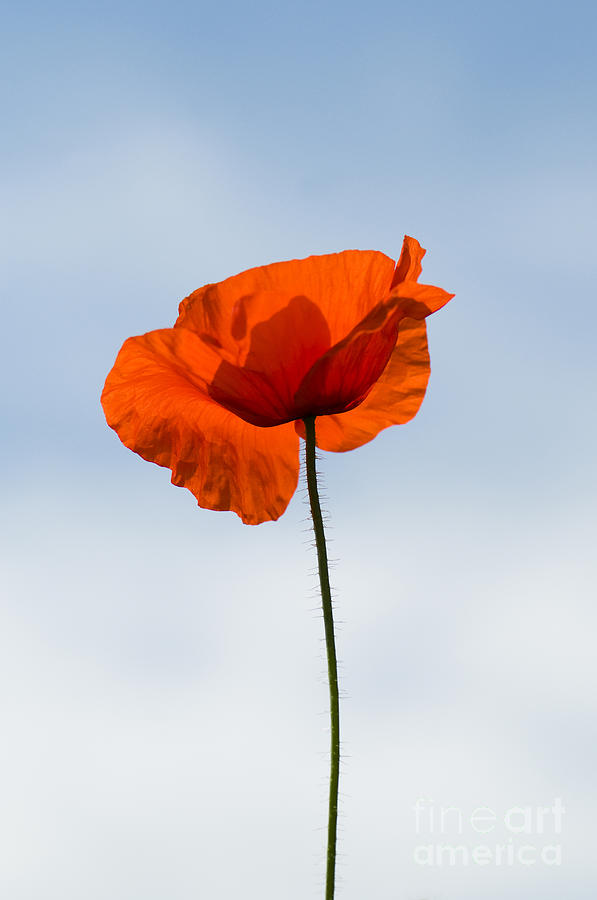 Annual Photograph - One Poppy by Anne Gilbert