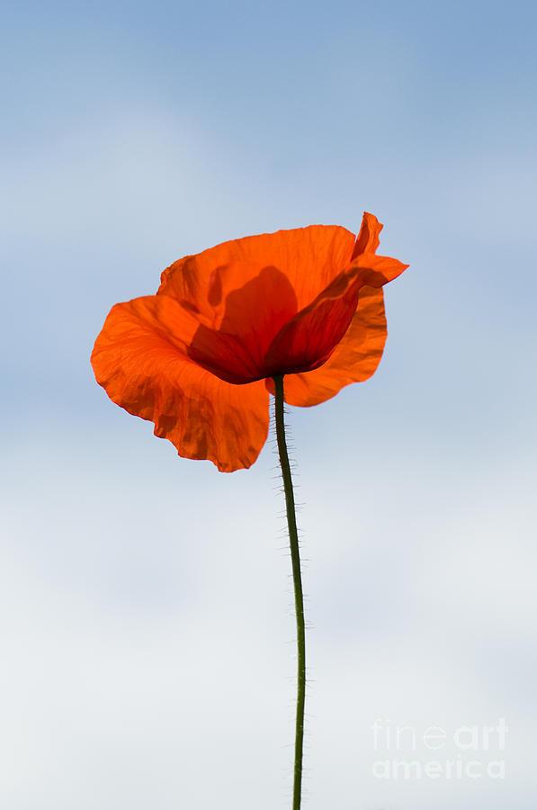 One Poppy Photograph