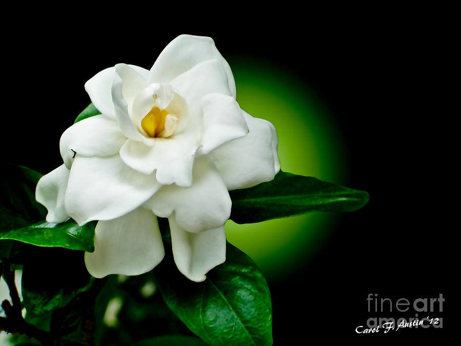 One Sensual White Flower Photograph