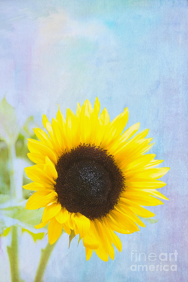 Sunflower Photograph - One Sunflower by Kay Pickens